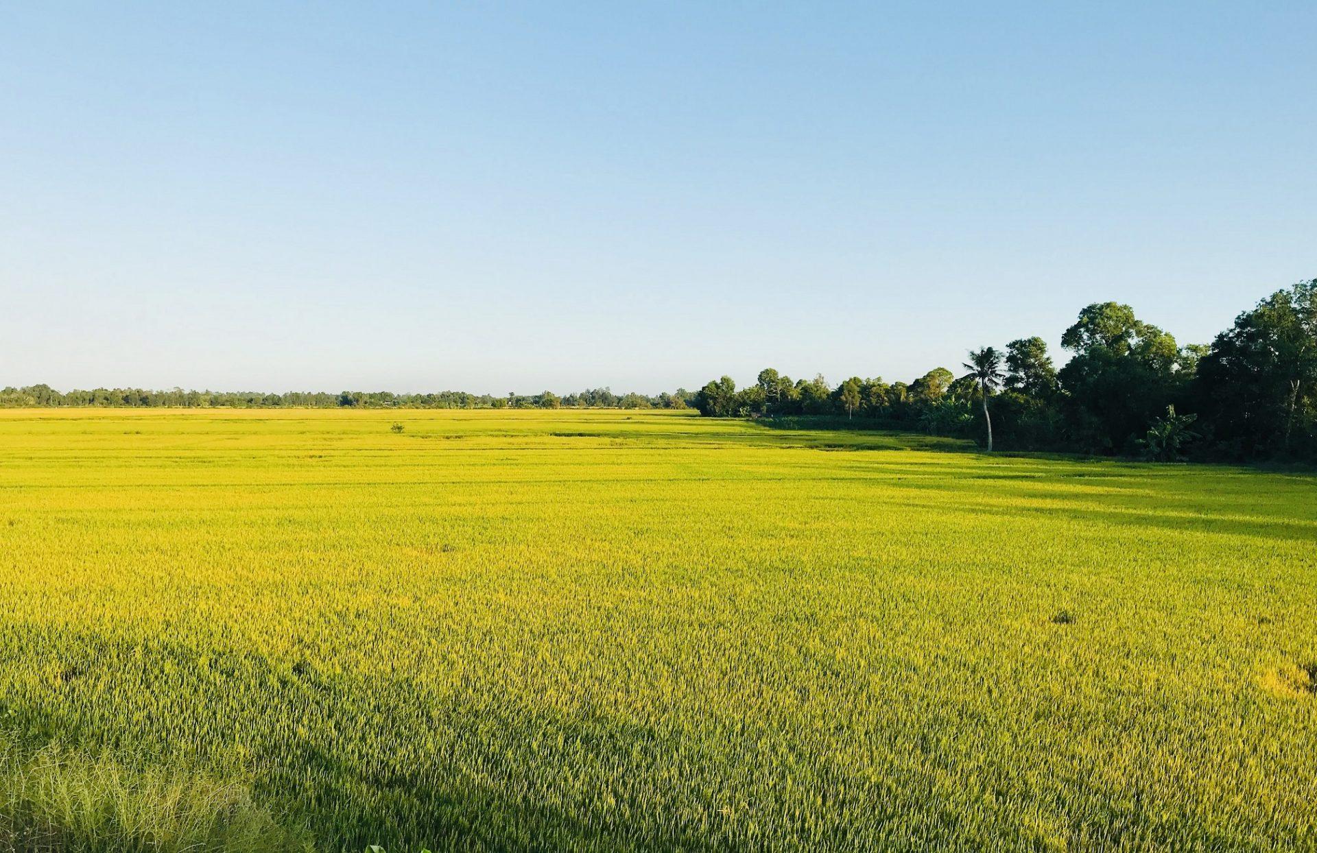 Beautiful yellow rice field