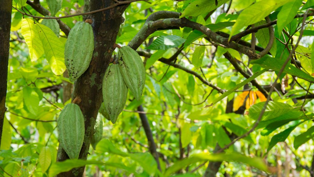 Cacao Trees in Can Tho