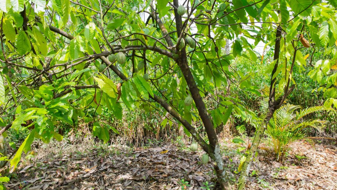 Organic Cacao farm in Mekong Delta