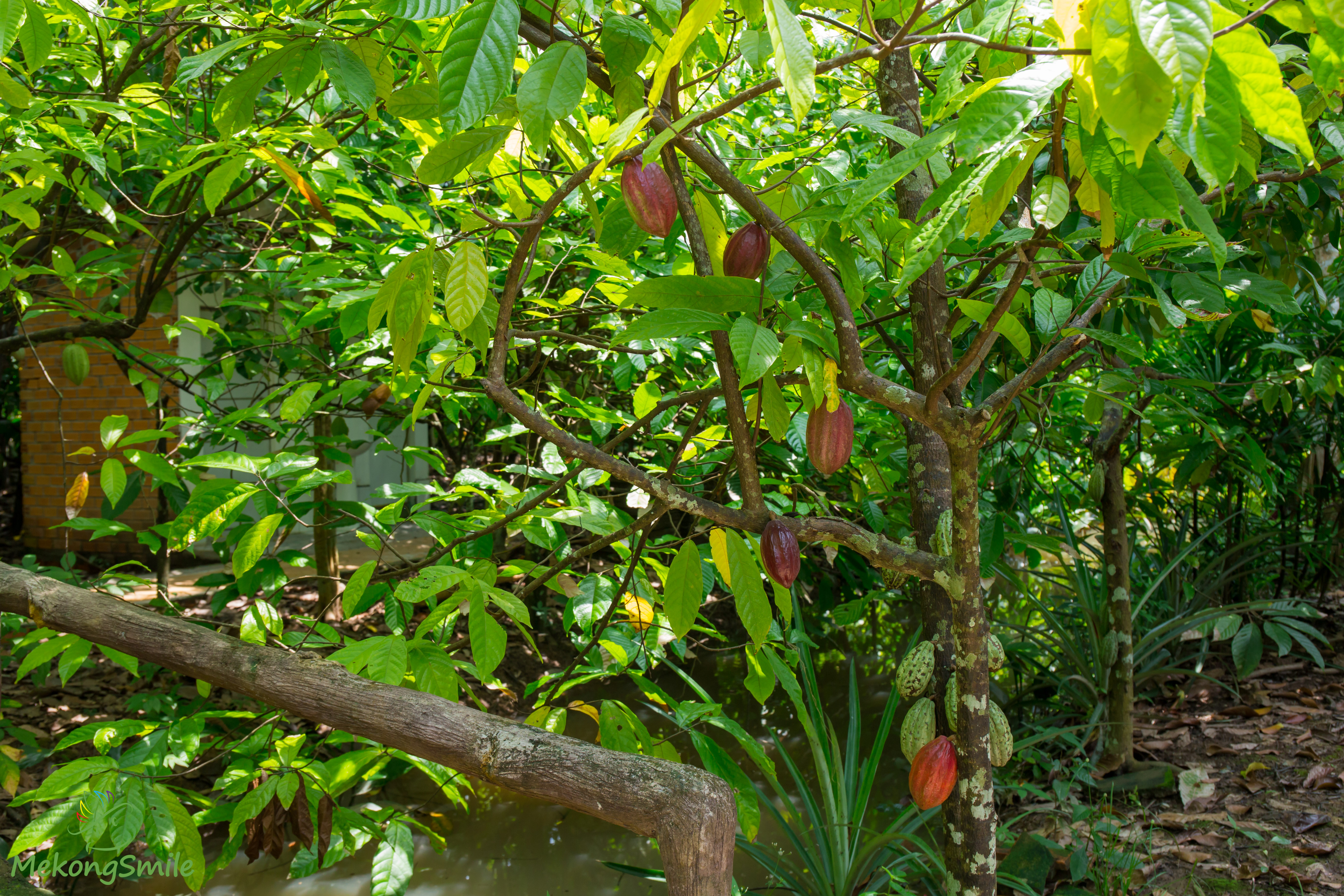 Organic cacao farm fruits