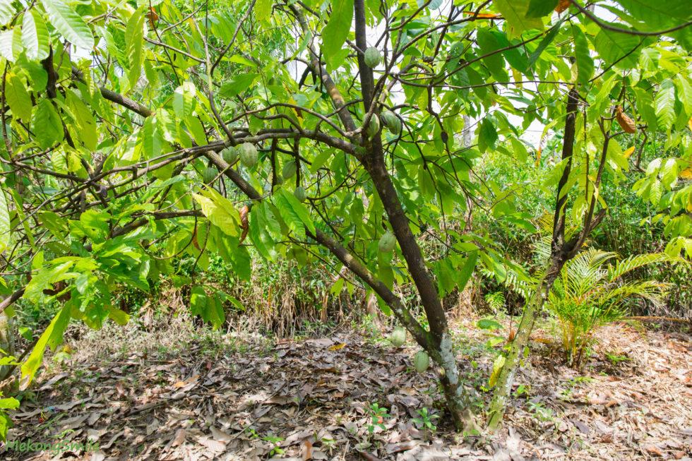 Organic cacao tree