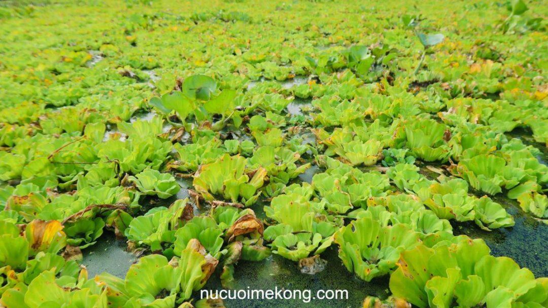 green-duckweed-carpet-can-tho-wildlife-tour