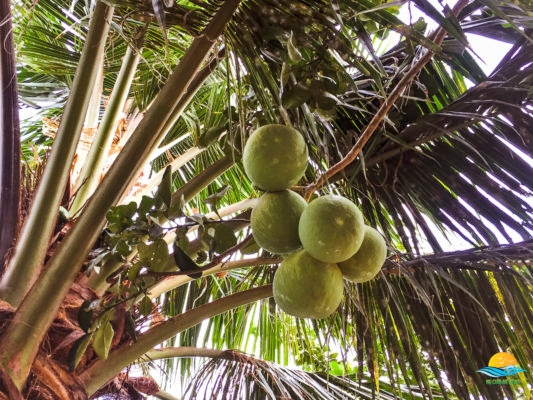 Fruit gardens with tropical fruits
