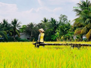 Yellow Rice Field in The Miracle Farm