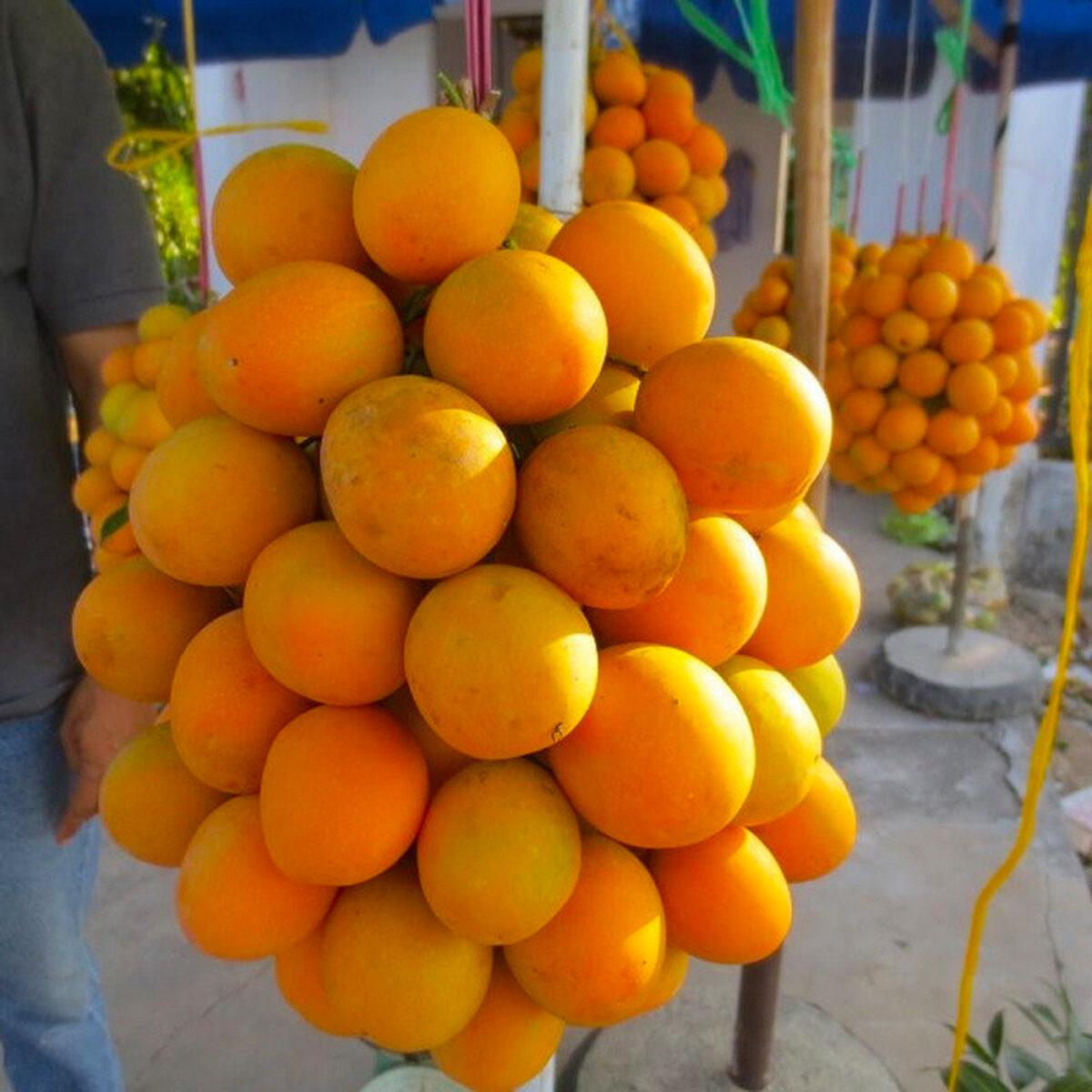 Marian mangoes in Vinh Long