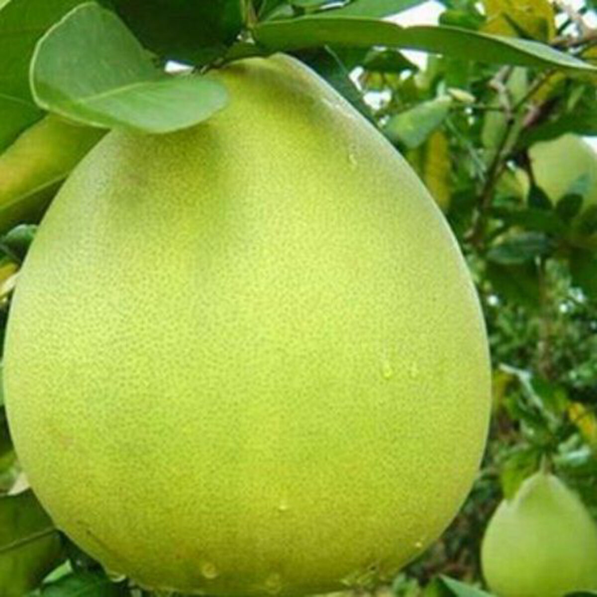 Nam Roi Pomelo is originally from An Giang