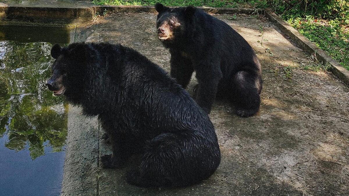 Bears in Dong Tam snake farm