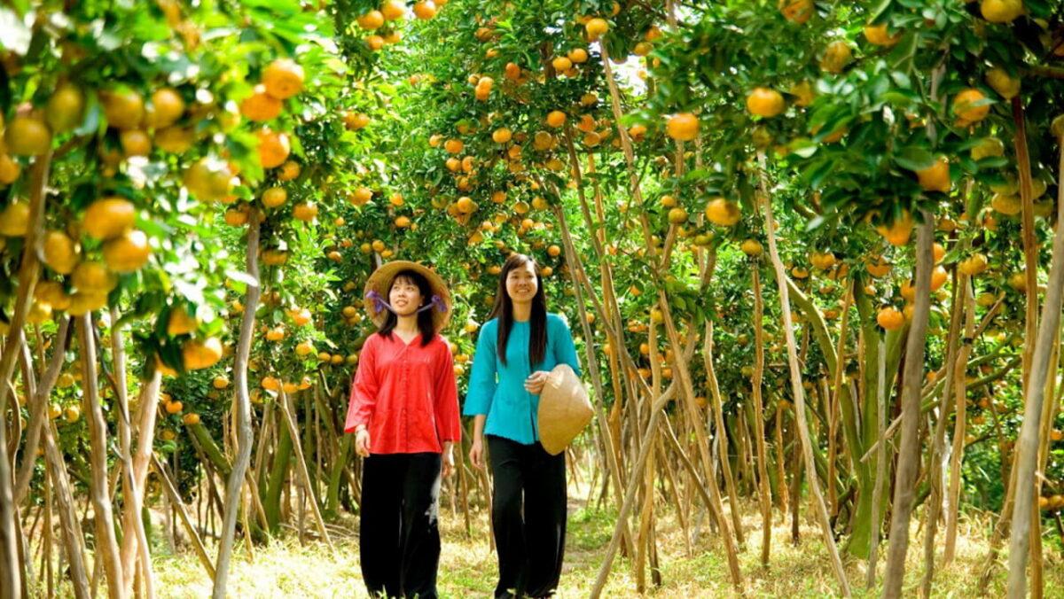 Mandarin garden in Cai Be orchard
