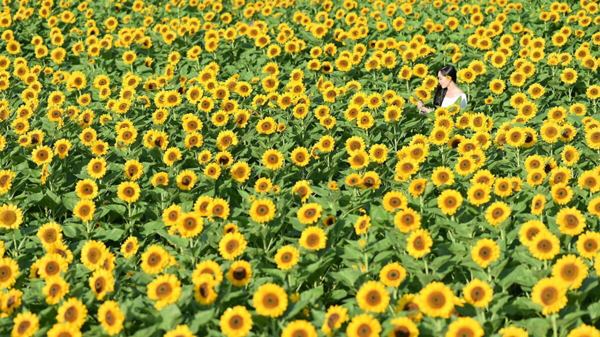 Sunflower field in Man Dinh Hong flower garden