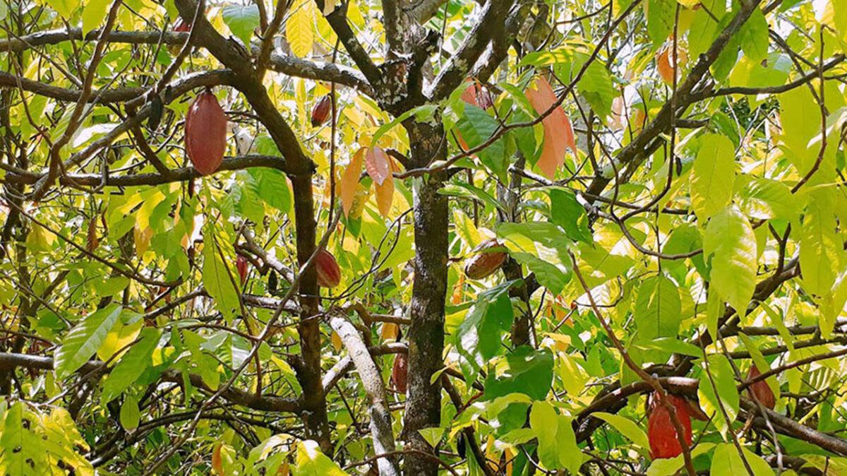 A serene corner of the cocoa farm