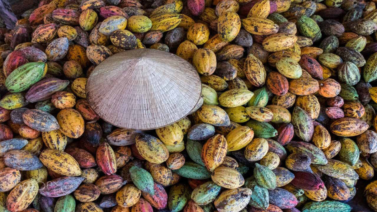 The cocoa trees provide stable production for the owner